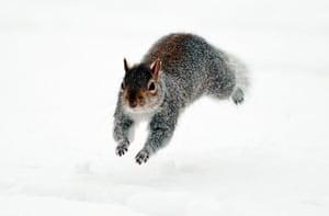 Snow: A squirrel runs through the snow in Sain