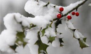 Snow on holly bush, Liverpool