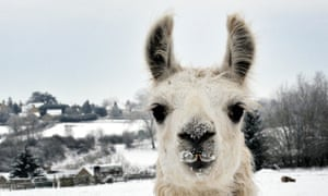 snow continues in uk: Alpacas in a field