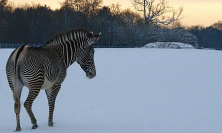A zebra stands in the snow, Whipsnade Zoo, Dec 2010
