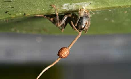 Zombie ants' controlled by parasitic fungus for 48m years | Microbiology |  The Guardian