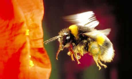 Buff-tailed bumble-bee Bombus terrestris