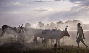 Cattle belonging to the Nuer tribe, Southern Sudan.