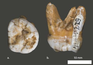 Molar tooth from the Denisova cave