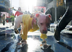 24 hours : New York, USA: A dog wearing boots and a sweater walks through Times Square