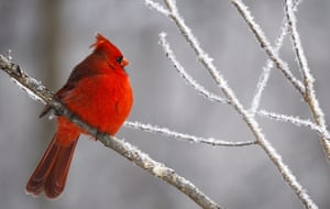 24 hours : Iowa, USA: A cardinal sits in a hoar frost covered tree