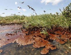 2010 year in environment: nesting pelicans are seen landing as oil washes ashore
