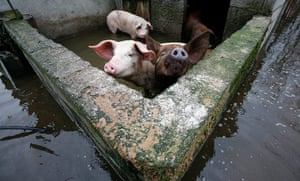 24 hours in pictures: Pigs stand in a flooded pen in the village Berislavci near Podgorica