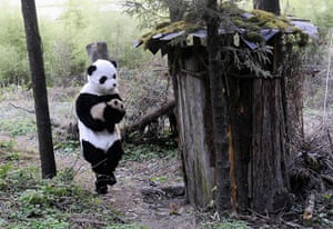 Panda conservation: A researcher dressed in a panda costume carries a panda cub