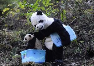 Panda conservation: A researcher dressed in a panda costume puts a panda cub into a box