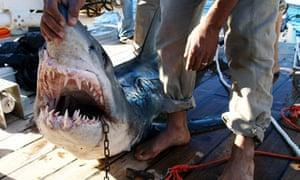 Egypt-shark-attacks