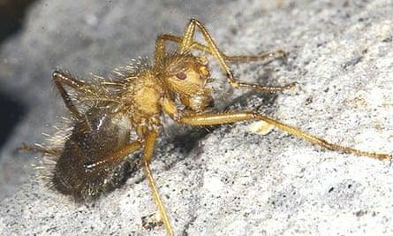 Terrible hairy fly