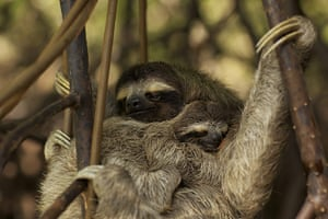 Decade Of Discovery: A pygmy three-toed sloth and its baby