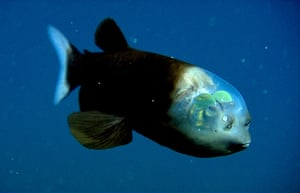 Decade Of Discovery: The barreleye fish
