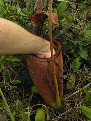 Decade Of Discovery: the biggest Pitcher Plants, nepenthes palawanensis