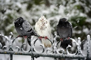 week in wildlife: Pigeons are pictured as snow goes on falling over