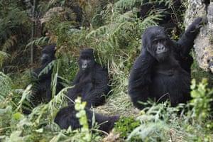 week in wildlife: mountain gorillas from the Kabirizi family in Virunga National Park