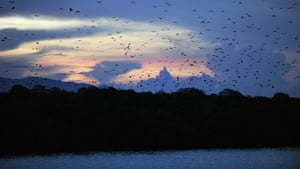 week in wildlife: swarm of fruit bats, or flying foxes, from Kalong Island, Indonesia