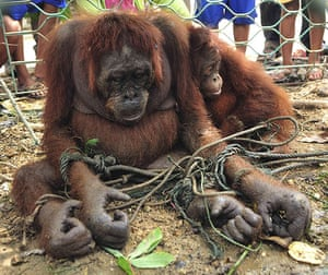 week in wildlife: Orangutans are tied to the ground as villagers look, Indonesia