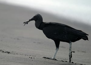 week in wildlife: A vulture catches a baby olive ridley sea turtle, Costa Rica