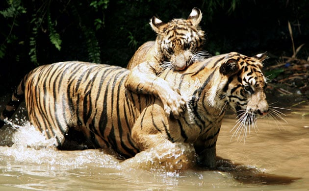In Pictures Wwf Launches Year Of The Tiger To Safeguard