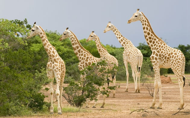 https://i.guim.co.uk/img/static/sys-images/Guardian/Pix/pictures/2010/2/12/1266002051005/West-African-Giraffe-or-N-016.jpg?w=700&q=55&auto=format&usm=12&fit=max&s=7bafdfce984ee7334791ac94ec7fda0b