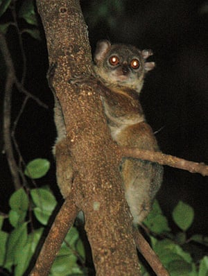Endangered Primates: Northern sportive lemur
