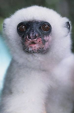 Endangered Primates: Young Silky Sifaka lemur