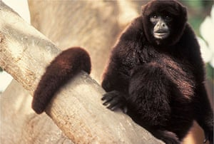Endangered Primates: Yellow-tailed Woolly monkey endangered primate