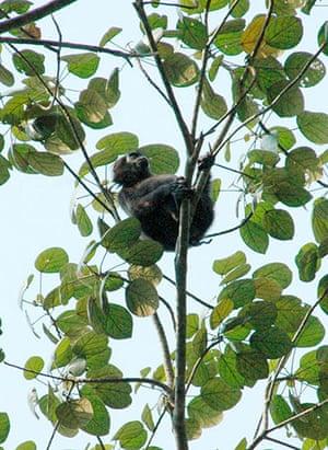 Endangered Primates: Pig-tailed langur or simakobu endangered primate