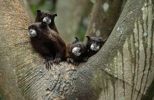 Endangered Primates: Cotton-top tamarin endangered primate