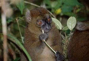 Endangered Primates: Greater Bamboo Lemur endangered primate