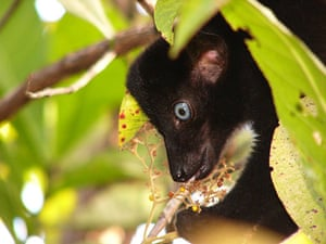 Endangered Primates: A male Sclater's black lemur endangered primate