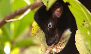 A male Sclater's black lemur endangered primates