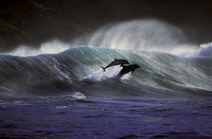 Surfing dolphins: The dolphins swim in the swell of the water as it breaks