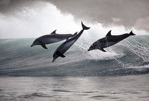 Surfing dolphins: With seemingly little effort they tear through the surf, leaping high