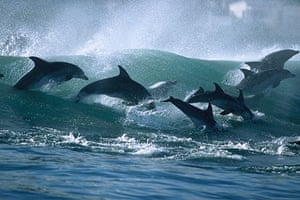 Surfing dolphins: Others burst through the wave in perfect formation