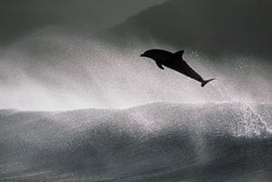 Surfing dolphins: At points some of the more daring dolphins achieve jumps up to 20 feet high