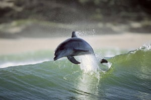 Surfing dolphins: Greg Huglin took the pictures on the south coast of South Africa