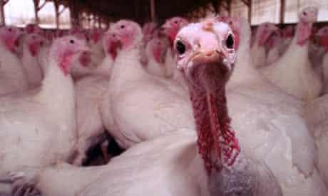 Turkey farm in Massachusetts