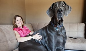 A Great Dane called George, the world's tallest dog, at home in Tucson, Arizona, USA