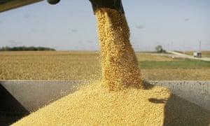 Corn is unloaded into a grain trailer during harvest near Arlington, Iowa.