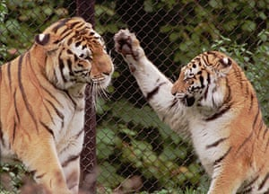 When animals kill: A Siberian female tiger, right, welcomes her new companion Sascha