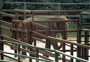 When animals kill: An elephant at Port Lympne Wild Animal Park, near Hythe in Kent