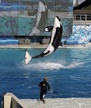When animals kill: Killer whale Kasatka leaps out of the water