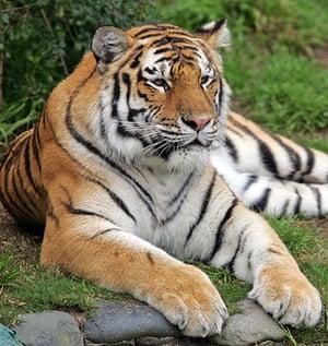 When animals kill: Tatiana, a female Siberian tiger
