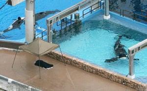 When animals kill:  Three killer whales swim in tanks at the SeaWorld park in Orlando