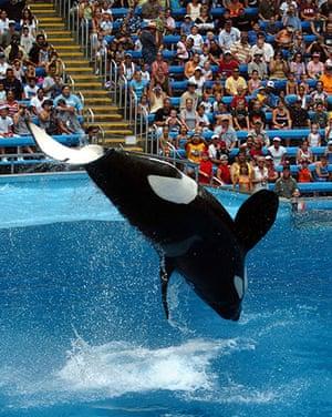 When animals kill: Ky, a 6,100-pound killer whale, performs at SeaWorld San Antonio
