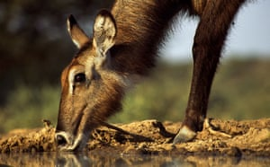 Great Rift Valley Kenya: Spectacular Pictures From Greg du Toit : female Waterbuck