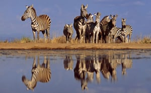 Great Rift Valley Kenya: Spectacular Pictures From Greg du Toit : A herd of Zebras